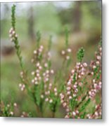 Pink Heather, Calluna Vulgaris, In Foggy Forest Metal Print