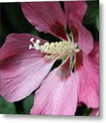 Pink Hibiscus Cose -up Metal Print