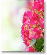Pink Hortensia Flowers In Graden Metal Print