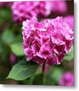 Pink Hydrangea Metal Print