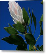 Pink King Protea Kula Maui Hawaii Metal Print
