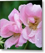 Pink Knockout Rose After The Rain Metal Print
