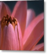 Pink Lily Close-up Metal Print