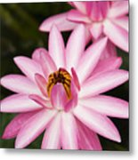 Pink Lotus Blossoms Metal Print
