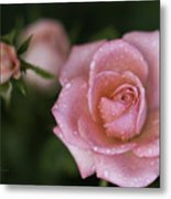 Pink Miniature Roses 3 Metal Print by Roger Snyder