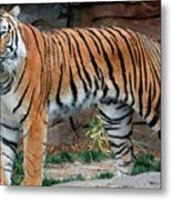 Pink Nosed Tiger Metal Print