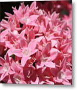 Pink Pentas Beauties Metal Print