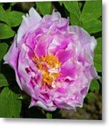 Pink Peony Blossom Metal Print