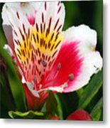 Pink Peruvian Lily 1 Metal Print
