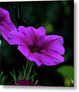 Pink Petunia, Dusk, Hunter Hill, Hagerstown, Maryland, July 25,  Metal Print