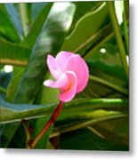 Pink Plumeria In Bloom Metal Print
