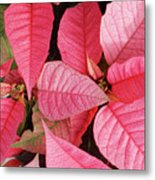 Pink Poinsettias Metal Print