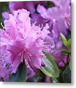 Light Purple Rhododendron With Leaves Metal Print