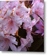 Pink Rhododendrums  Metal Print
