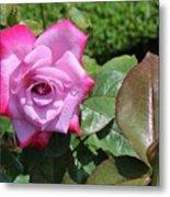 Pink Rose 1 Metal Print