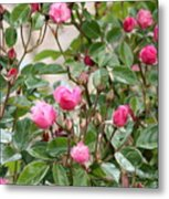Pink Rose Buds Metal Print