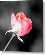 The October Rose    Metal Print