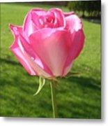 Pink Rose In The Sunlight Metal Print
