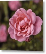 Pink Rose Instagram Metal Print