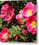 Pink Rose Of Sharon Blooms      Spring     Indiana Metal Print