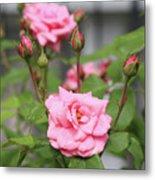 Pink Rose With Buds Metal Print