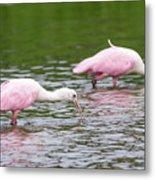 Pink Roseate Spoonbills Feeding Metal Print