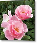 Pink Roses 1 Metal Print