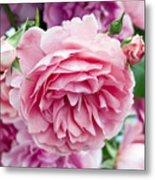 Pink Roses Metal Print by Frank Tschakert
