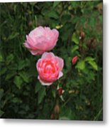 Pink Roses In A Garden Metal Print