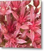 Pink Sedum Flower Macro Metal Print
