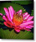 Pink Summer Water Lily Metal Print