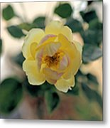 Pink Tipped Yellow Rose Metal Print