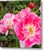 Pink Tulip, Keukenhof Metal Print