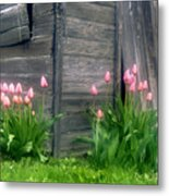 Pink Tulips And Weathered Shed Metal Print