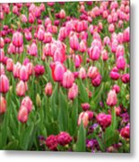 Pink Tulips At Floriade In Canberra, Australia Metal Print