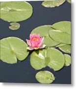 Pink Waterlily Metal Print