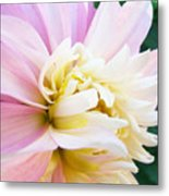 Pink White Dahlia Flower Soft Pastels Art Print Canvas Baslee Troutman Metal Print