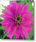 Pink Zinnia In Florida Metal Print