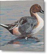 Pintail Metal Print by Jean Ann Curry Hess