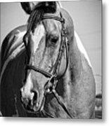Pinto Pony Portrait Black And White Metal Print