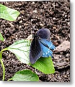Pipevine Swallowtail Butterfly Metal Print