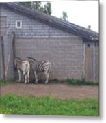 Plains Zebras In The Corner Metal Print