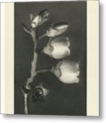 Plant Studies, 1928, Nature Series, By Karl Blossfeldt  Metal Print