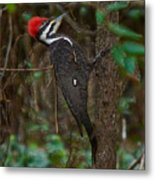 Plastic Wrapped Pileated Woodpecker Metal Print