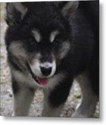 Playful Alusky Puppy Dog Ready To Pounce Metal Print