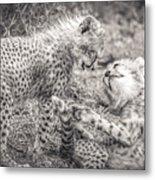 Playtime In Africa- Cheetah Cubs Acinonyx Jubatus Metal Print
