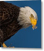 Plucking Feather's From Prey Metal Print