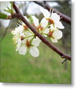 Plum Blossoms In Spring Metal Print