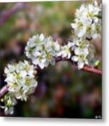 Plum Tree Blossoms Metal Print