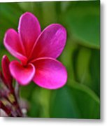 Plumeria - Royal Hawaiian Metal Print